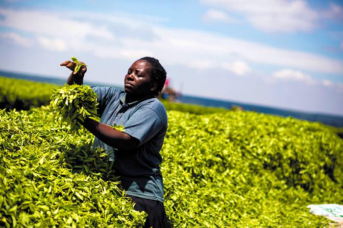 Rahel Mhabuka, tea worker